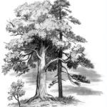 Рассказ Константина Дмитриевича Ушинского. Спор деревьев